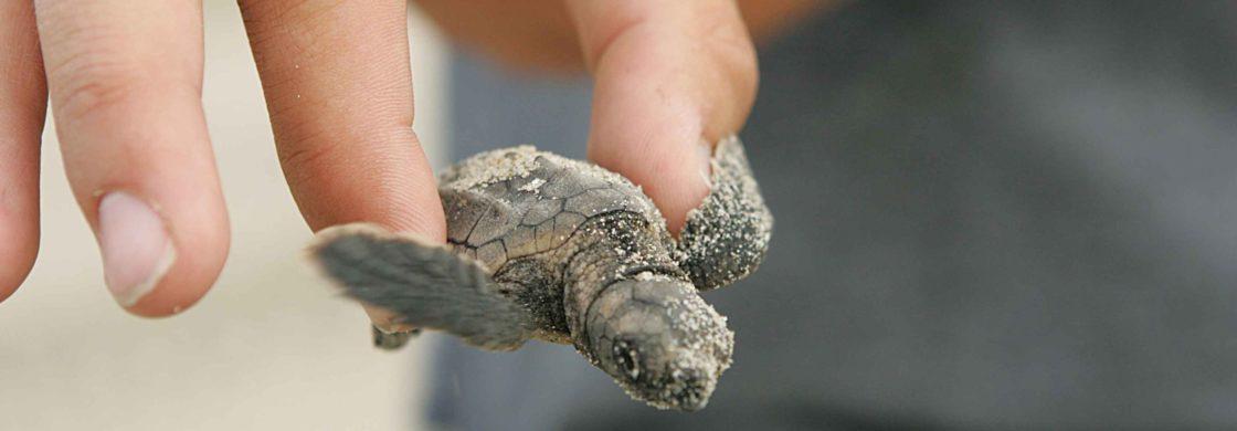 tartaruga caretta caretta mar ionio